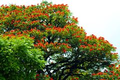 Röd blomningafrikan Tulip Tree royaltyfri fotografi