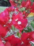 Röd boganvilablomma på trädgården av Sri Lanka arkivfoto