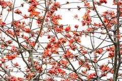 Röd bomull blommar med vit bakgrund Arkivfoto