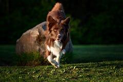Röd border collie hund i en äng, sommar Royaltyfri Fotografi