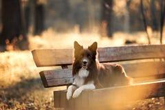 Röd border collie hund i en äng, sommar arkivfoton