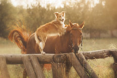 Röd border collie hund och häst arkivbilder