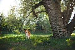 Röd border collie hund som går i trädgård Arkivfoton