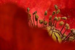 Röd botanik för trädgård för detalj för vallmoblommamakro royaltyfria bilder