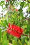 Röd Bottlebrush i HDR Royaltyfri Bild