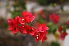Röd bougainvillea Fotografering för Bildbyråer