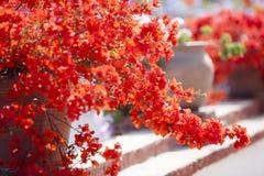 Röd bougainvillea arkivfoton