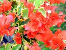 Röd bougainvilleablomma arkivbild