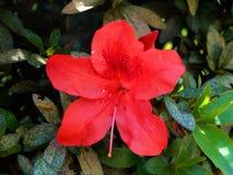 Röd brasiliansk blomma Arkivfoton