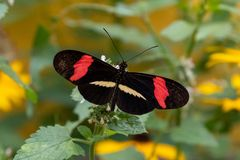 Röd brevbärarefjäril arkivfoton