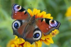 Röd-brunt fjäril, Aglais io eller påfågelöga, royaltyfri fotografi