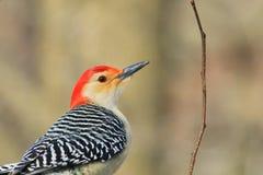 Röd buktad hackspett - djurlivbakgrund - färger i natur Arkivfoto