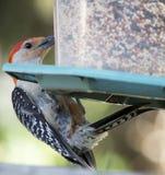 Röd buktad hackspett på fågelförlagematare Fotografering för Bildbyråer