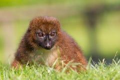 Röd-buktad maki (Eulemur rubriventer) Royaltyfri Foto
