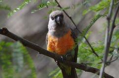 Röd buktad papegoja Arkivbilder