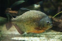 Röd-buktad piranha (den Pygocentrus nattererien) Arkivbild