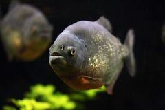 Röd-buktad piranha (den Pygocentrus nattererien) arkivfoton
