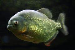 Röd-buktad piranha (den Pygocentrus nattererien) Royaltyfri Fotografi
