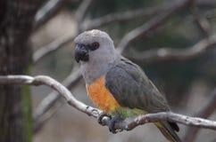 Röd-buktade papegojaPoicephalus rufiventris Royaltyfria Foton