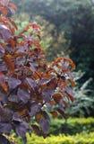 Röd buske Arkivfoto