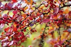 Röd buske och bär Arkivfoto