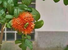 Röd buskepil eller thailändsk powderpuffblomma Royaltyfria Foton