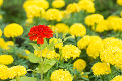 Röd calendula i gul calendula Fotografering för Bildbyråer