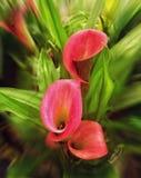 Röd calla lilly Fotografering för Bildbyråer