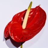 Röd calla, symbol Arkivfoton