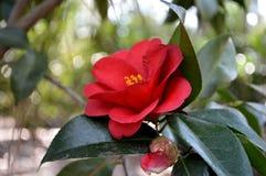 Röd camellia Arkivbilder