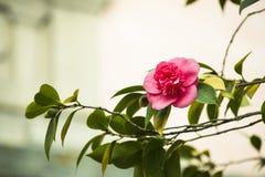 Röd camellia Royaltyfri Bild