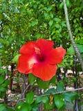 Röd chabablomma i trädgården Royaltyfri Fotografi