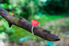 Röd champagne plocka svamp med trädet och förgrena sig i det mest forrest Arkivfoto