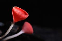 Röd champinjon Royaltyfria Bilder