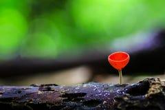 Röd champinjon Arkivfoton