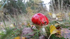 Röd champinjon Arkivbilder