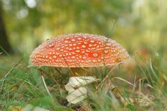 Röd champinjon (amanitaen Muscaria också som är bekant som klipska Ageric eller klipsk Amanita) Fotografering för Bildbyråer