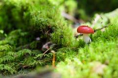 Röd champinjon, champinjoner på mossa i skogen Arkivfoto
