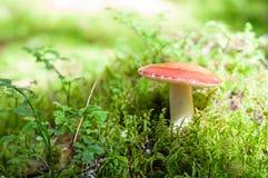 Röd champinjon, champinjoner på mossa i skogen Arkivfoton