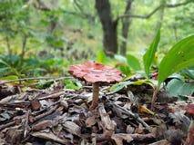 Röd champinjon i trän Royaltyfria Bilder