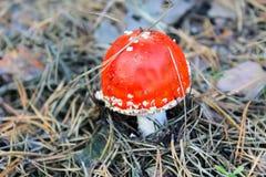 Röd champinjonAmanita Muscaria, klipska Ageric, klipsk Amanita i skog Arkivbilder