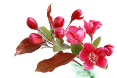 Röd Cherryblomning Arkivfoto