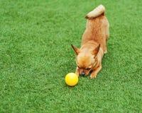 Röd chihuahuahund på grönt gräs Arkivbild