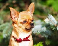 Röd chihuahuahund på trädgårds- bakgrund Arkivbild