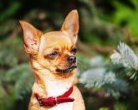 Röd chihuahuahund på trädgårds- bakgrund Arkivfoton