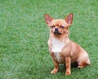 Röd chihuahuahund som placerar på grönt gräs Royaltyfria Bilder