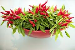 Röd chili Arkivbild