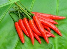 Röd chili som är bonnie på gräsplanen royaltyfria bilder