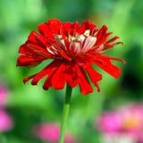 Röd chrysanthemum fotografering för bildbyråer