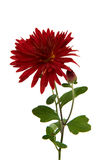 Röd chrysanthemum royaltyfri bild